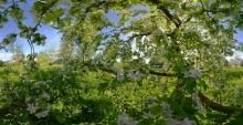 Apfelbaum in Blüte