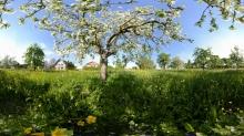 Frühlingswiese mit blühenden Apfelbäumen